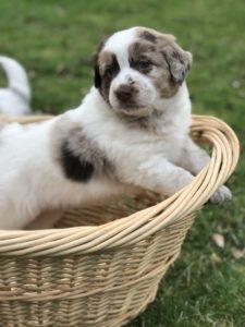Puppy Chip