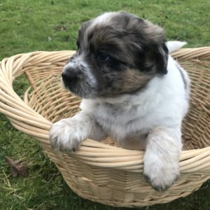 Puppy Charlie - Male