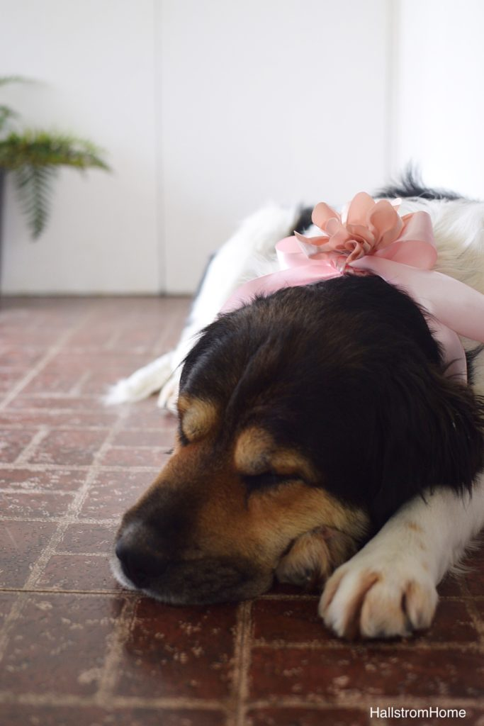 black white and brown dog with pink ribbon on nech laying down